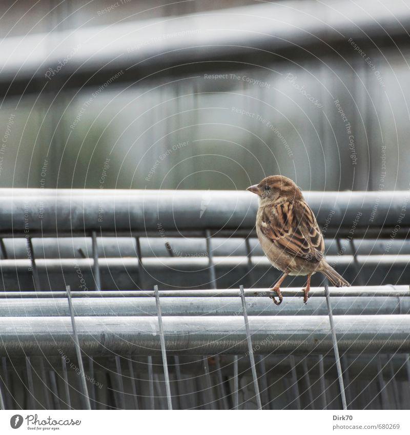 Bauzaun-Balance Baustelle Tier Stadt Wildtier Vogel Spatz Haussperling feminin Weibchen 1 Zaun Gitter Metall Stahl Linie sitzen dünn kalt braun grau schwarz