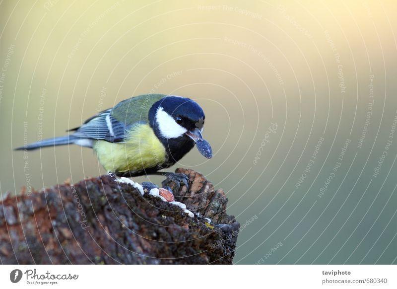 Kohlmeise essen Sonnenblumenkern Essen schön Winter Garten Natur Tier Park Vogel füttern klein niedlich wild gelb Appetit & Hunger Überleben Titte Lebensmittel