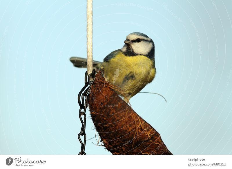 wunderschöne Blaumeise auf Kokosnuss-Feeder Winter Natur Tier Vogel klein nachhaltig niedlich wild blau gelb Farbe Titte Zuführung Tierwelt Fett Lebensmittel