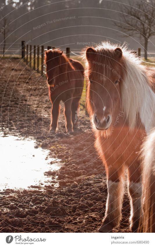 Warten auf den Sommer Natur Landschaft Erde Sonnenlicht Feld Weide Tier Nutztier Pferd Island Ponys 2 Blick stehen warten Freundlichkeit kuschlig braun weiß