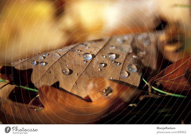 Herbstlich(t) Blatt Eiche Wassertropfen Warme Farbe Außenaufnahme Tau Natur weiches licht Makroaufnahme
