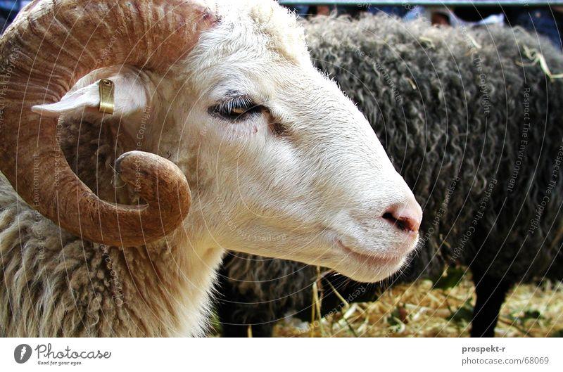 Wer ist der Gärtner? Bock Schaf Ziegen Silhouette Stroh Tier niedlich Knopf im Ohr Geißbock Profil Horn Schwarzweißfoto steifftier steiff-tier
