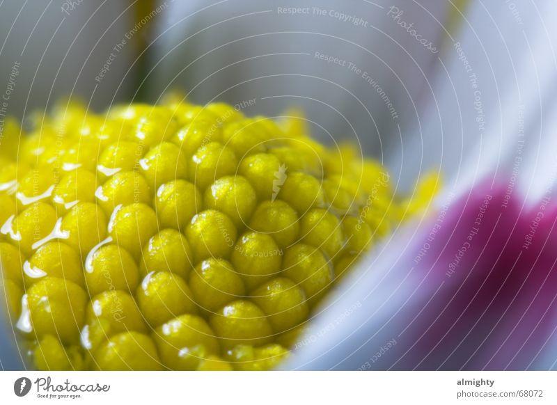 Gänseblümchen Natur Wasser Blume gelb Blüte Regen Wassertropfen