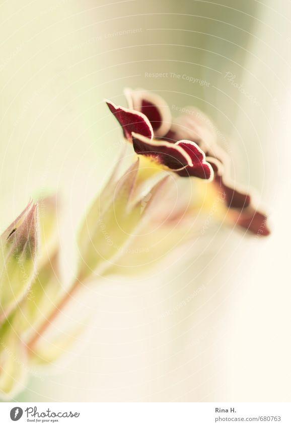 Primel . winterhart . Frühling Blume Blüte Blühend Frühlingsgefühle Kissen-Primel Blütenknospen Makroaufnahme zart weich Gedeckte Farben Menschenleer