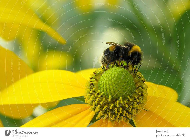 Hummel (Bombus) Außenaufnahme bestäuben Biene Blume Blüte Pollen Nahaufnahme mehrfarbig Fröhlichkeit gelb grün Insekt krabbeln Licht Makroaufnahme Ernährung