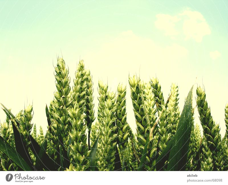 Weizenähren Feld Sommer gelb grün ruhig Landwirtschaft Erholung Himmel bleich Hoffnung Ähren Getreide Korn blau enstspannung Wind Wetter sky hell