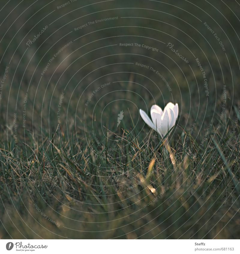 mit dem ersten Sonnenstrahl Natur Pflanze schön Blume Frühling Gras klein Garten Wachstum Beginn Blühend Zeichen neu Lichtspiel Frühlingsgefühle erste