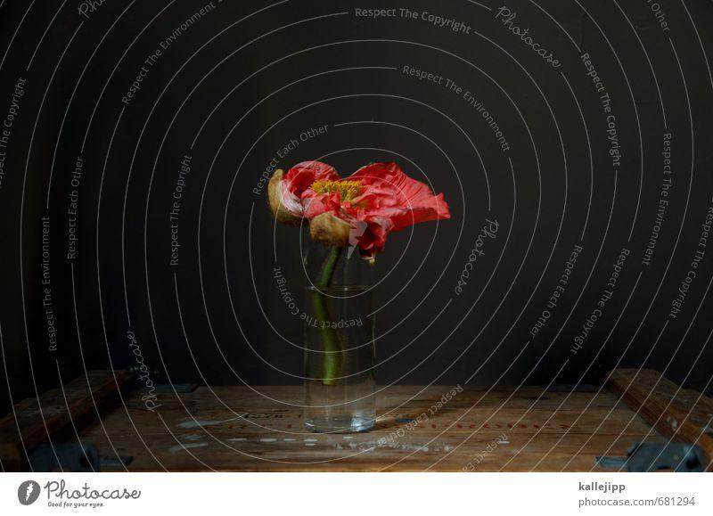 alte kiste - frühlingsanfang Umwelt Natur Pflanze Blume Blatt Blüte Blühend Mohnblüte Dekoration & Verzierung Vase Wasser old-school Glas Holz Holzkiste dunkel