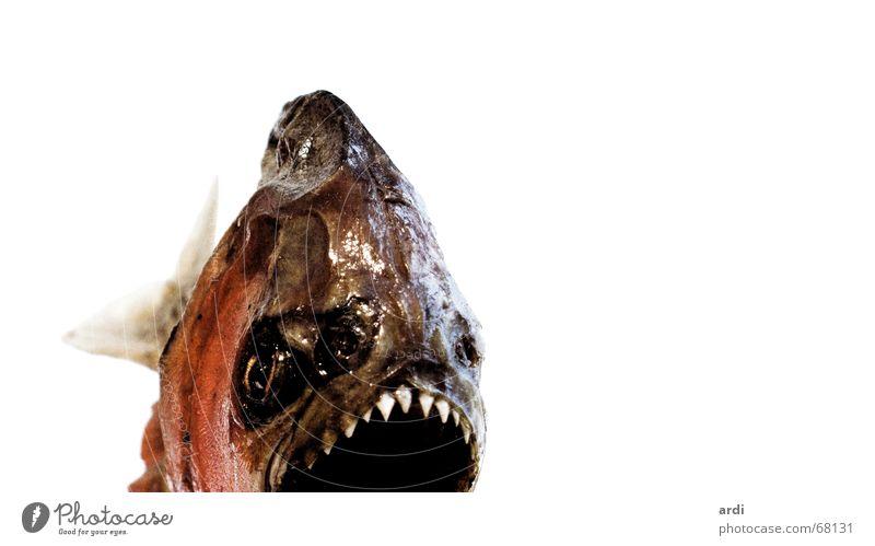 Piran-ha Tier Fisch gefährlich bedrohlich Gebiss Schwimmhilfe Vorsicht Kopfschuppe Scharfer Gegenstand Piranha
