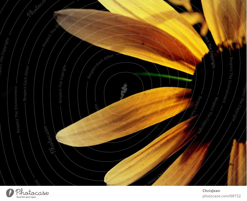 Titellos Leben Sommer Natur Pflanze Frühling Herbst Blume Blüte springen nah positiv gelb schwarz Lust Farbe Gefäße diagonal Stillleben Kurzzeitbelichtung