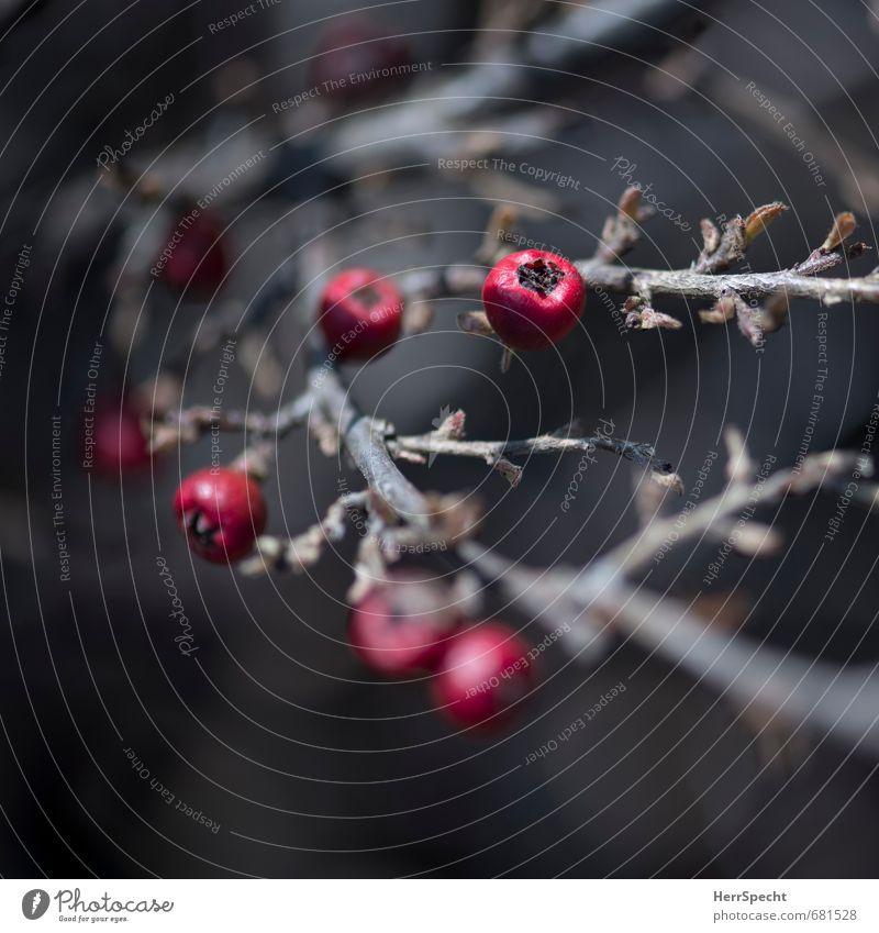 Beerig Natur Pflanze ästhetisch dunkel klein natürlich trocken braun rot Gift Beeren Beerensträucher Sträucher Zweig Frucht winterfest Farbfoto Gedeckte Farben