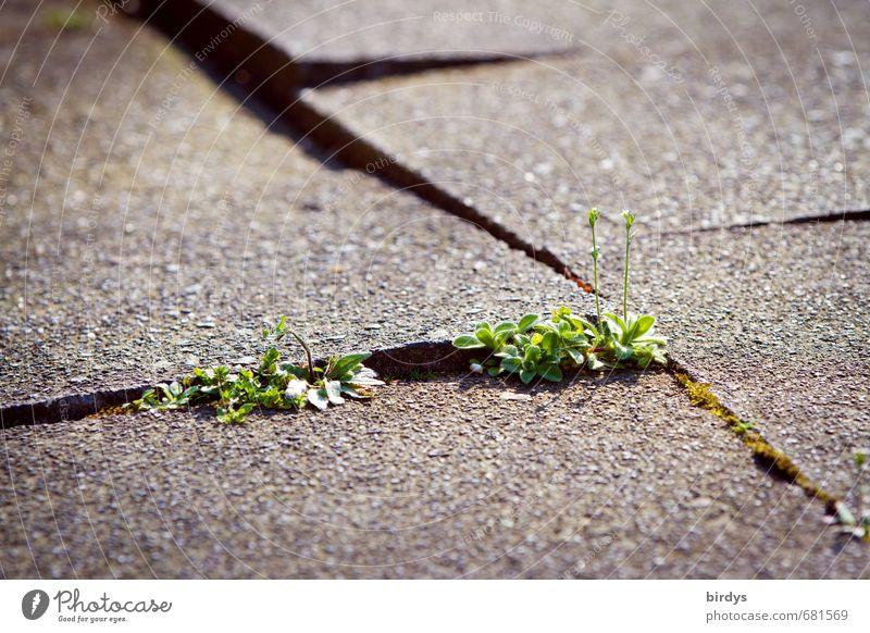 Zwischenräume nutzen Frühling Sommer Pflanze Grünpflanze Wildpflanze Wachstum authentisch grau grün Willensstärke Überleben Stadt Wandel & Veränderung