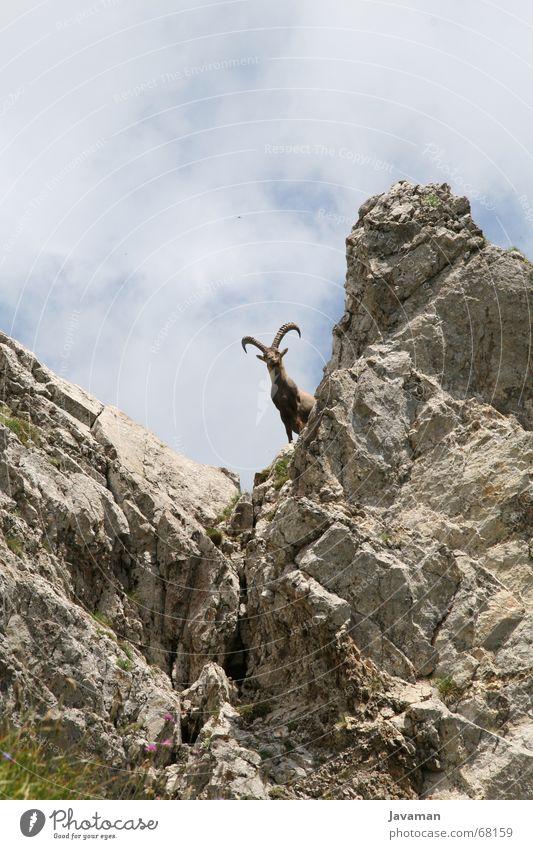 Der Bock. Tier Berge u. Gebirge Schweiz Ziegen Geröll Steinbock