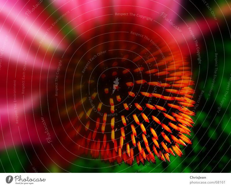 Titellos Sommer Garten Pflanze Blume Blüte rot fein Stauden Blütenblatt dream flower Sonnenhut Blütenknospen sun shade garden mehrfarbig