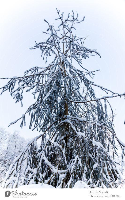 Oh Tannenbaum Himmel Natur weiß Baum ruhig Winter kalt Wald Umwelt Schnee natürlich Stimmung frisch Schönes Wetter
