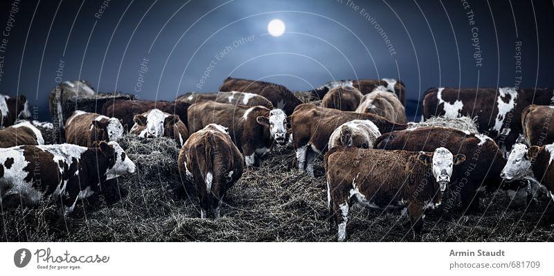 Winterliche Kühe Umwelt Natur Sonne Mond schlechtes Wetter Nebel Eis Frost Stroh Feld Nutztier Kuh Herde berühren stehen dunkel kalt blau Stimmung Schutz