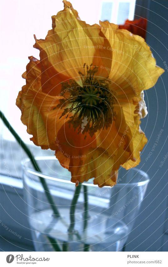 Tulpe Blume