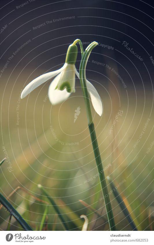 Galanthus Natur Pflanze Frühling Blume Blatt Blüte Schneeglöckchen Garten Wiese Blühend Wachstum schön grün weiß zartes Grün Frühblüher Frühlingsblume Farbfoto