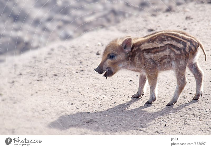Einsames Schweinerl Jagd Frühling Wald Tier Wildtier Zoo 1 Tierjunges füttern gehen klein natürlich Neugier niedlich braun grau weiß Farbfoto Gedeckte Farben