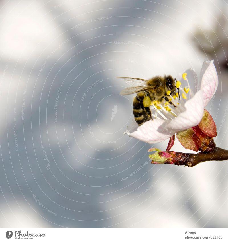 fleißig, fleißig II Natur weiß Pflanze Tier Frühling Blüte klein Garten rosa Arbeit & Erwerbstätigkeit fliegen Schönes Wetter Blühend zart Insekt Biene