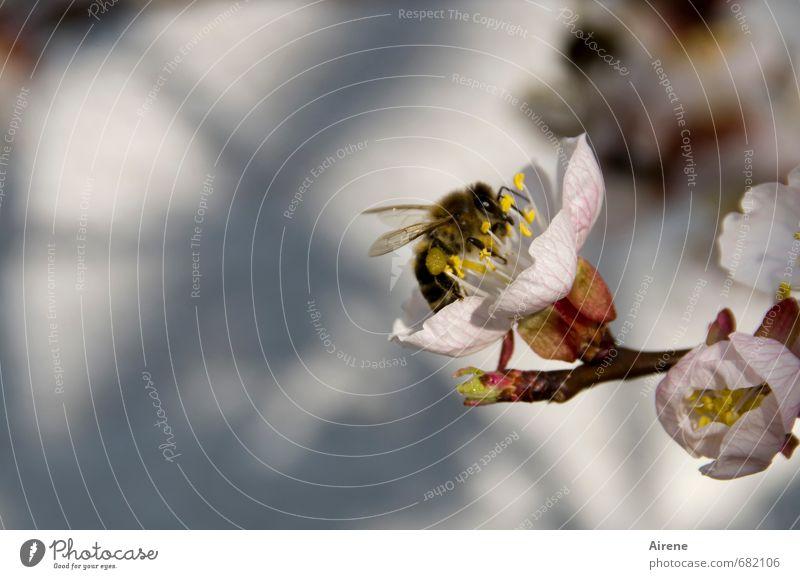 von Bienen und Blumen... Natur Pflanze Tier Frühling Schönes Wetter Baum Blüte Baumblüte Aprikosenblüte Aprikosenbaum Obstbaum Garten Nutztier Insekt 1
