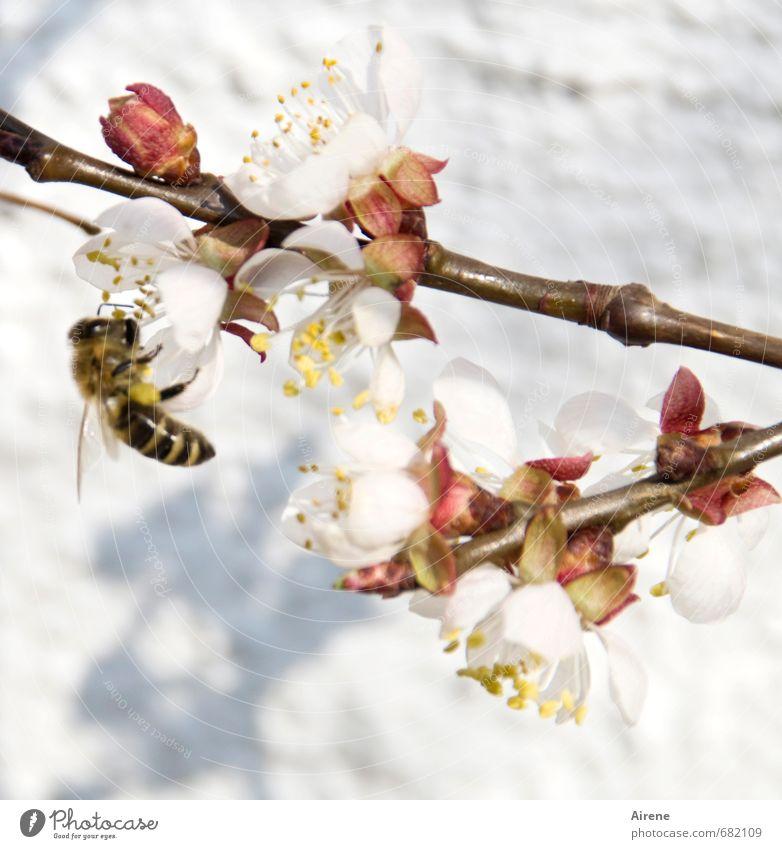 fleißig, fleißig weiß Pflanze Tier Wärme Frühling Blüte klein rosa Arbeit & Erwerbstätigkeit fliegen Blühend Zweig Biene Duft krabbeln Nutztier