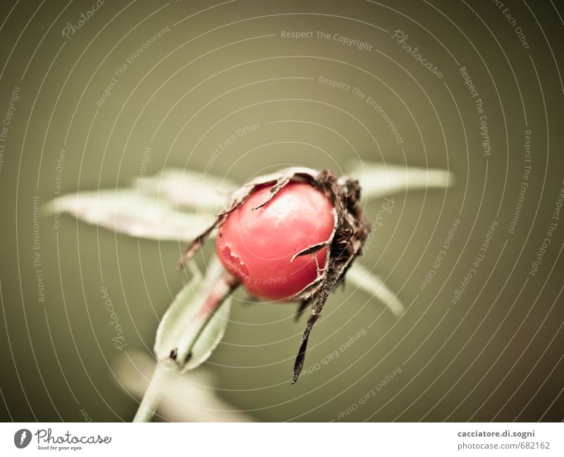 Standhaft Natur grün Pflanze Einsamkeit rot Herbst klein Zeit natürlich braun authentisch einfach kaputt Vergänglichkeit Wandel & Veränderung nah