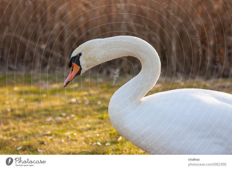 geht es da zum schwanensee? Natur grün weiß Tier schwarz gelb Leben Wiese Frühling natürlich gehen braun Park orange laufen Wildtier