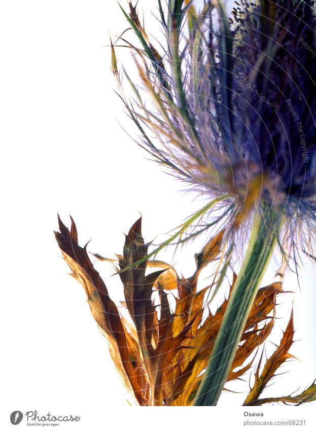 Distel Pflanze Blume Blüte grün braun weiß Leuchttisch getrocknet blau