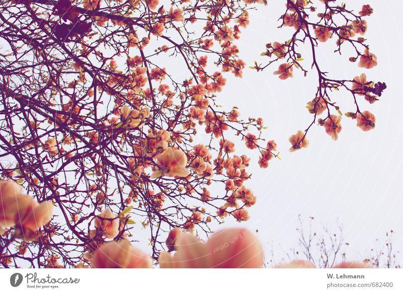 Magnolie(n) Umwelt Wolken Frühling Pflanze Baum Magnolien Park Macht Hilden Farbfoto Außenaufnahme Experiment Tag Unschärfe Zentralperspektive