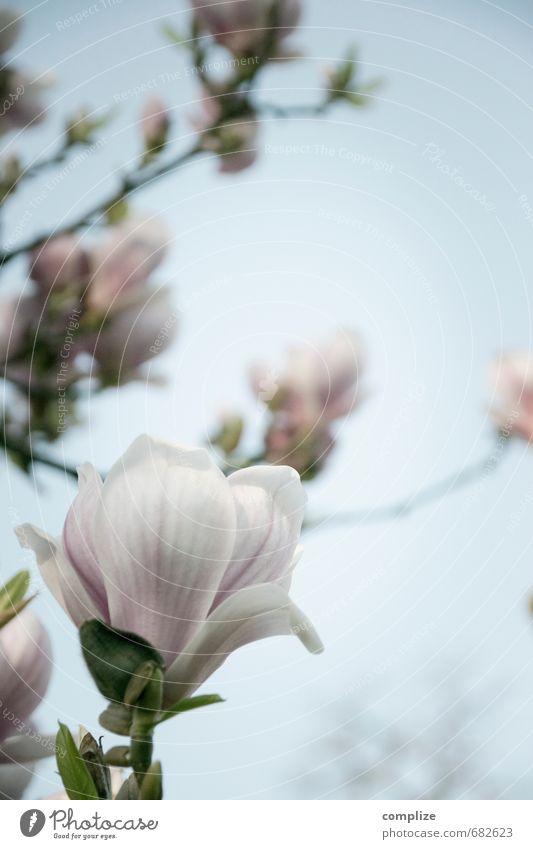 Magnolia elegant Stil schön Umwelt Natur Himmel Sonne Pflanze Baum Blatt Blüte exotisch Blühend rosa Magnoliengewächse Magnolienblüte Magnolienbaum zart