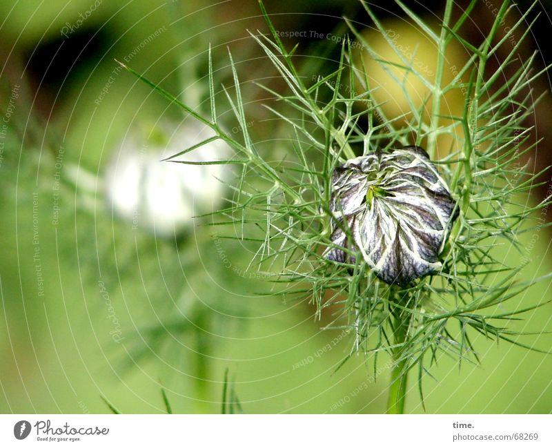 Aber wenn ich erst mal aus mir rauskomme... Blume grün Garten Vergänglichkeit zart zerbrechlich stachelig Sack filigran Samt Angeben samtig Jungfer im Grünen