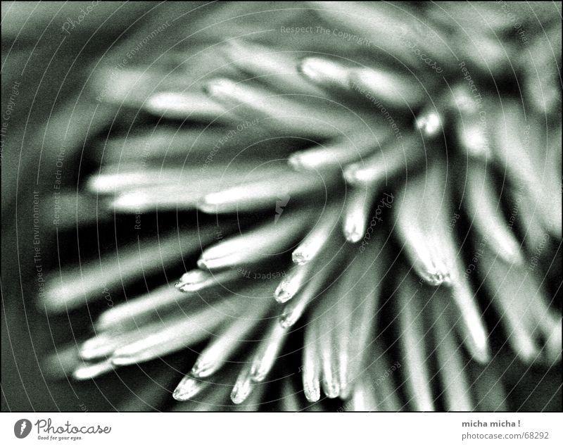 Filligranes dünn Nadelbaum Tannennadel stechend