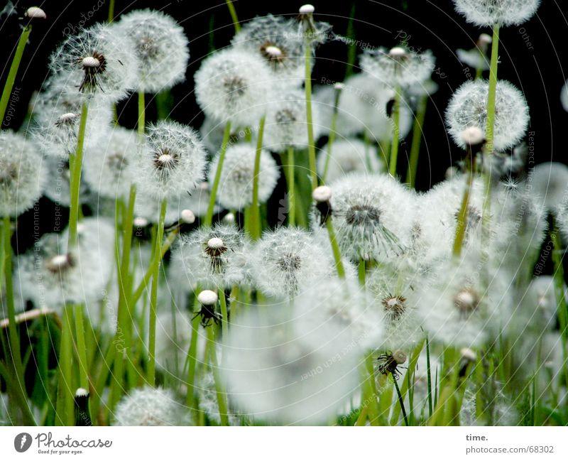 Einheit in Vielfalt Natur Sommer schwarz Wiese träumen Hintergrundbild authentisch zart Löwenzahn Respekt Mischung zerbrechlich wirklich Vielfältig filigran luftig
