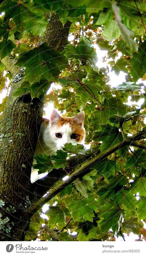 aestas libertas est grün Baum Sommer Freude Blatt Auge Spielen Freiheit Holz Katze Angst Sicherheit Schutz Klettern Ast Fell