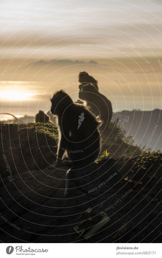 Affenbande Himmel Wolken Sonne Sonnenaufgang Sonnenuntergang Nebel Felsen Berge u. Gebirge Vulkan Mount Batur Tier Wildtier 4 Tiergruppe Blick sitzen warten