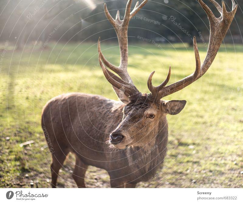 Hab Bock... Natur Pflanze Gras Wiese Wald Wildtier Hirsche 1 Tier Horn wild braun grün Wachsamkeit ruhig Selbstbeherrschung Auge beobachten Wildpark Farbfoto