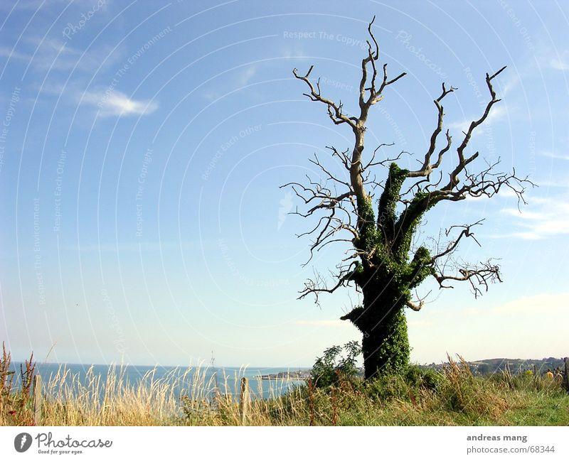 Einsamer Baum alt Baum Meer blau Einsamkeit Gras majestätisch