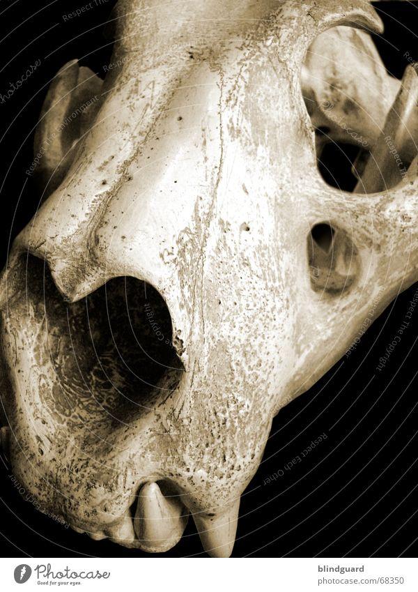 Skull of the Tiger Tod Gebiss Bildausschnitt Anschnitt Skelett Tierschädel ausgestorben Reißzahn Fangzahn Totes Tier Vor dunklem Hintergrund