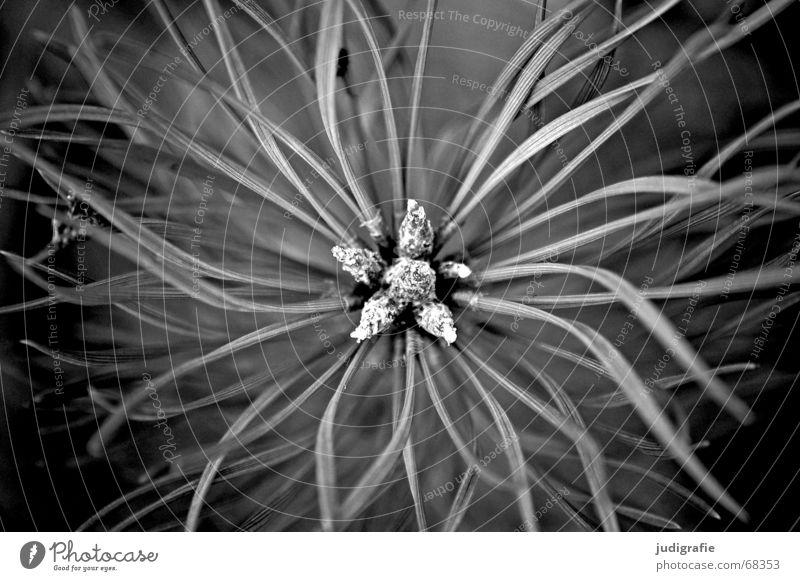 Kiefer Wald-Kiefer Nadelbaum Pflanze Baum Sträucher grün braun Sommer stachelig schwarz Schwarzweißfoto nadelholz Immergrüne Pflanzen kurztrieb leitbündel Zweig
