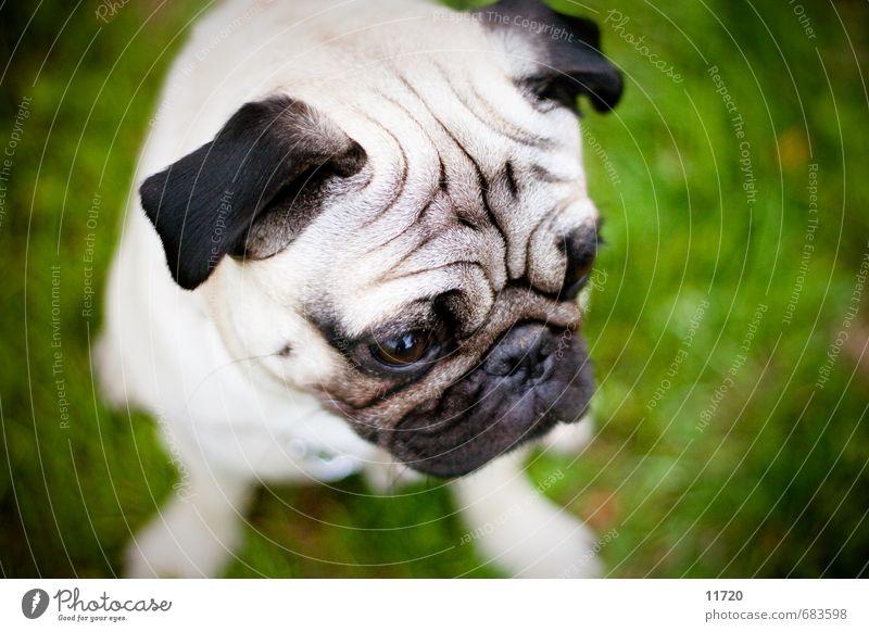 Theo Gras Tier Haustier Hund Tiergesicht Fell 1 Tierjunges Fressen Blick sitzen Traurigkeit warten Glück kuschlig klein weich Sympathie Tierliebe Mops
