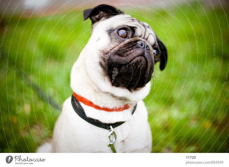 Bitte ein Leckerli Gras Tier Haustier Hund Tiergesicht 1 Tierjunges Fressen Blick sitzen Traurigkeit Freundlichkeit gut kuschlig klein Sympathie Freundschaft