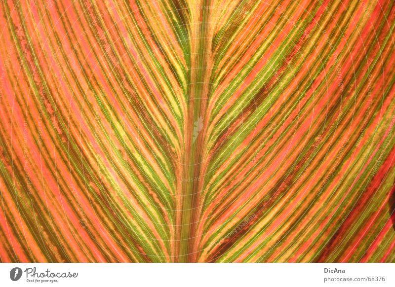 bunt gestreift grün Pflanze rot Sommer Blatt gelb Linie Beleuchtung orange rosa Streifen August Canna