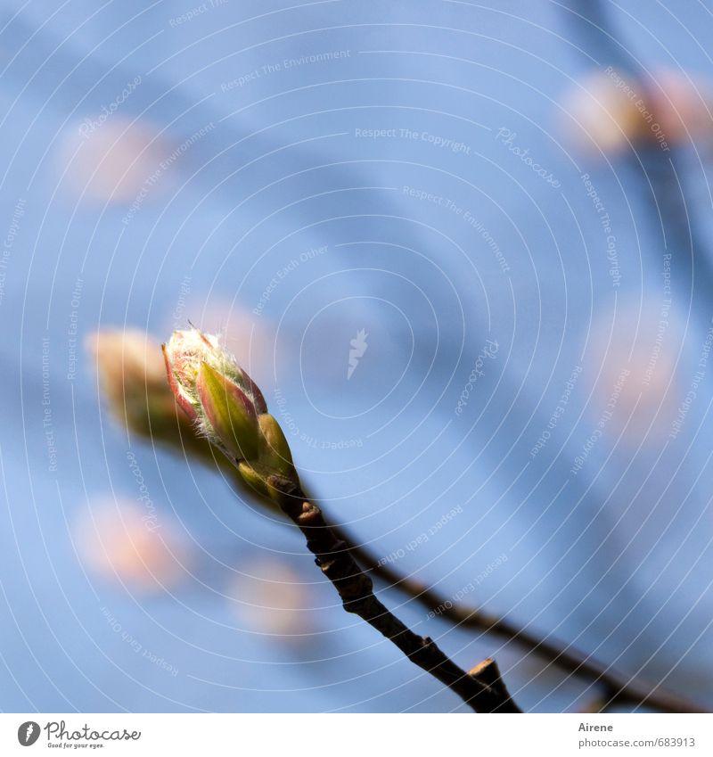 der holde Lenz Natur Pflanze Himmel Frühling Schönes Wetter Baum Blüte Blütenknospen Felsenbirne Zweig Garten Blühend positiv blau rosa Frühlingsgefühle