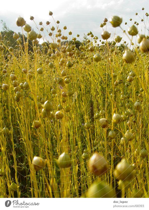 lein(en)los Natur Himmel grün Pflanze ruhig Wolken gelb Wiese Gras Garten Denken hell Stimmung Feld Wind groß