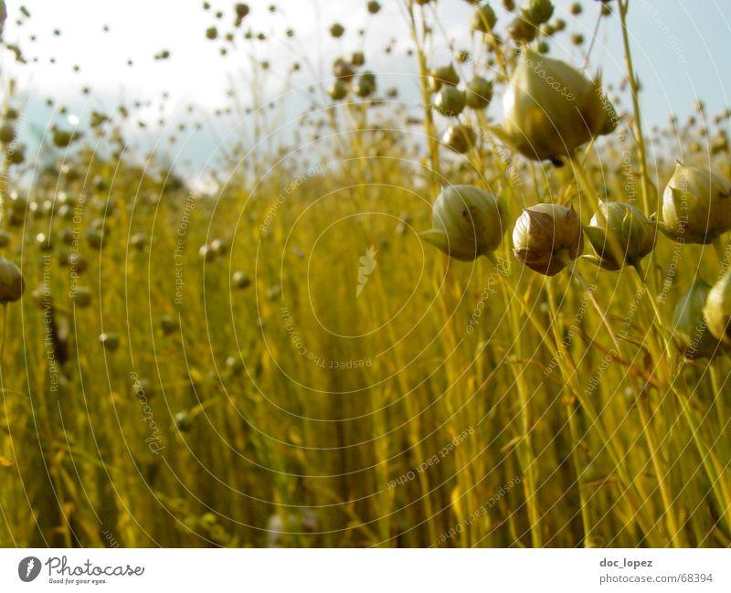 Lein(en) los! Wiese Wolken Gras Halm Feld chaotisch Rohstoffe & Kraftstoffe Landwirtschaft grün gelb Bekleidung Stoff Muster Stimmung durcheinander Zukunft