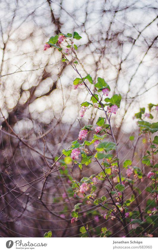 rosa Firlefanz Natur schön Pflanze Baum Blume Blatt Winter Umwelt Leben Gefühle Blüte rosa Park Zufriedenheit Sträucher ästhetisch