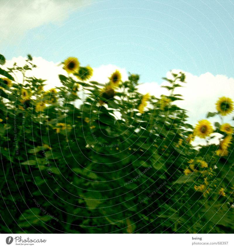 den Tag mit Blumen starten Himmel Sommer Freude Blüte lachen Feld Blühend Ernte Korn Sonnenblume Ackerbau Samen Sonnenblumenöl