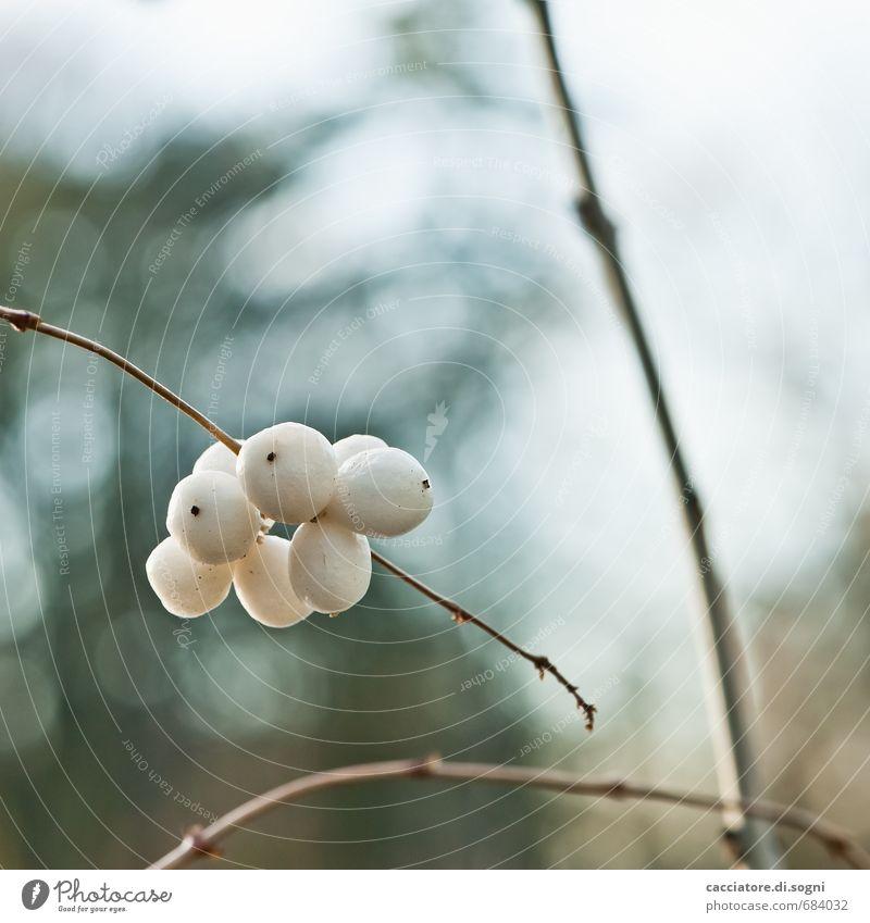 Schneebeeren Natur blau weiß Pflanze Herbst klein natürlich braun Freundschaft Kraft Zufriedenheit ästhetisch Schönes Wetter einfach Freundlichkeit rund