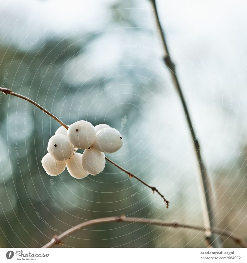 Schneebeeren Natur Pflanze Herbst Schönes Wetter Beeren ästhetisch dick einfach Freundlichkeit klein natürlich rund blau braun weiß Zufriedenheit Optimismus